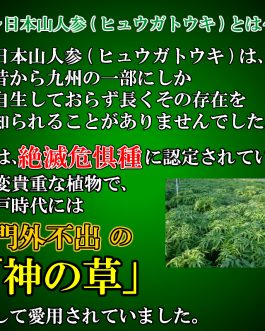 日本山人参茶